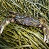 Crab in the Grass